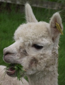 cropped-oct-10-update-alpacs-093.jpg