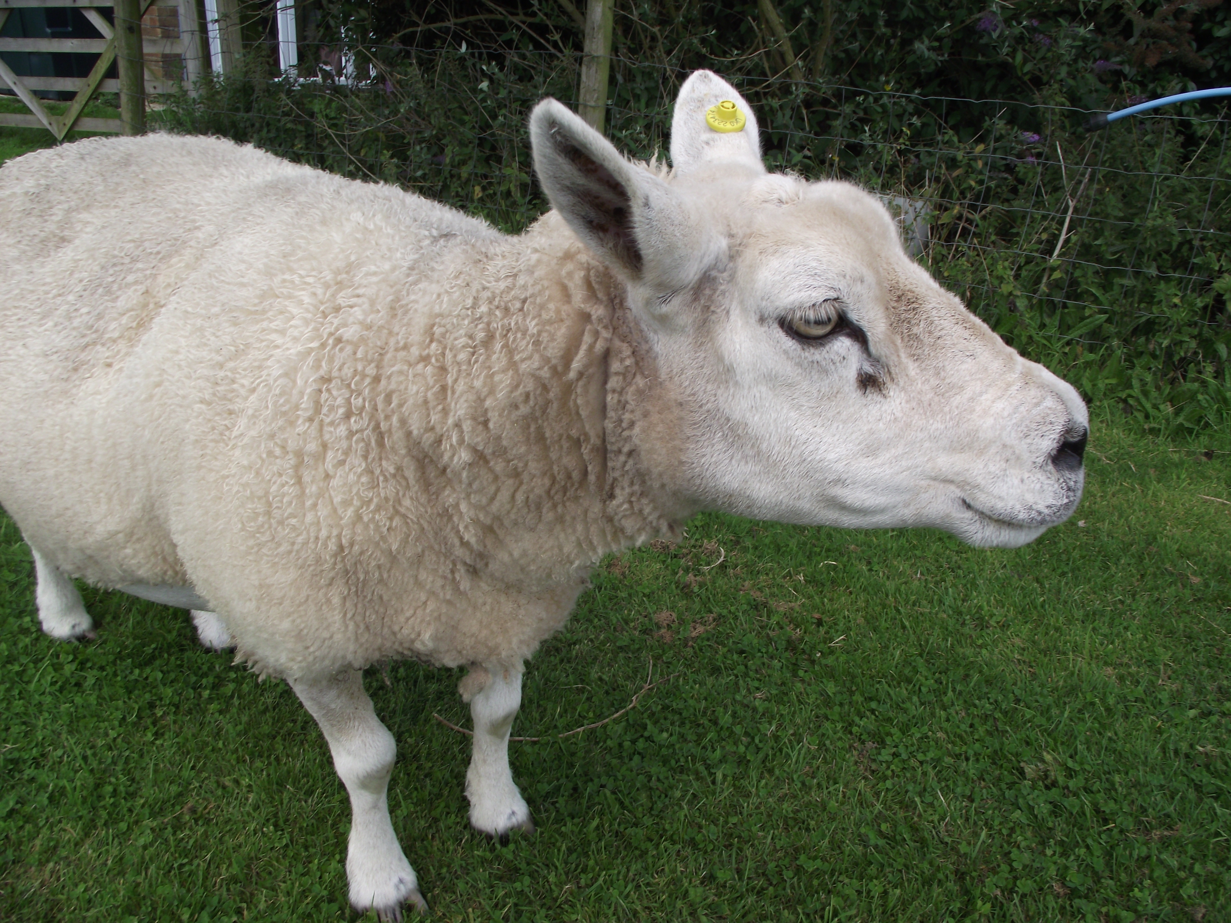 Sheep Singular 'Digging for victory...